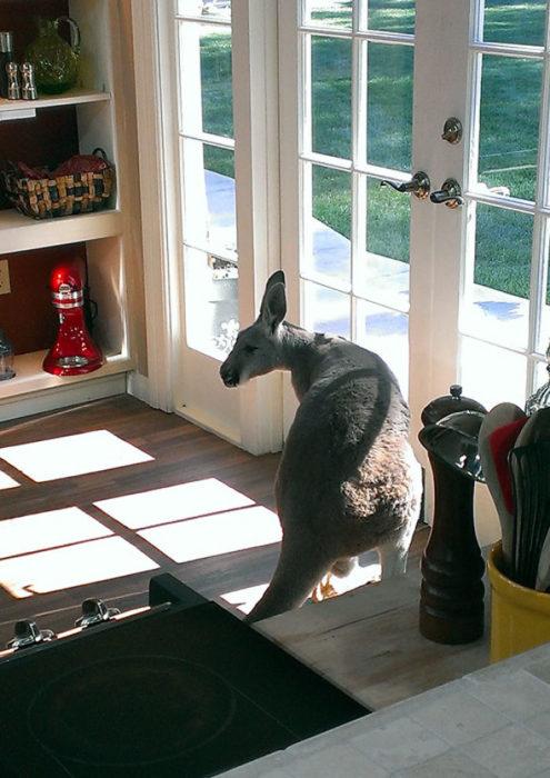 canguro en la cocina