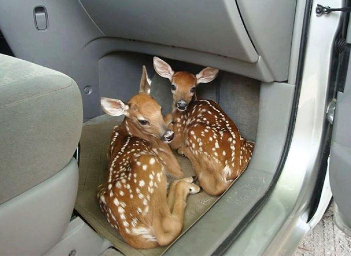 ciervos en el carro