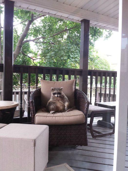 mapache sentado