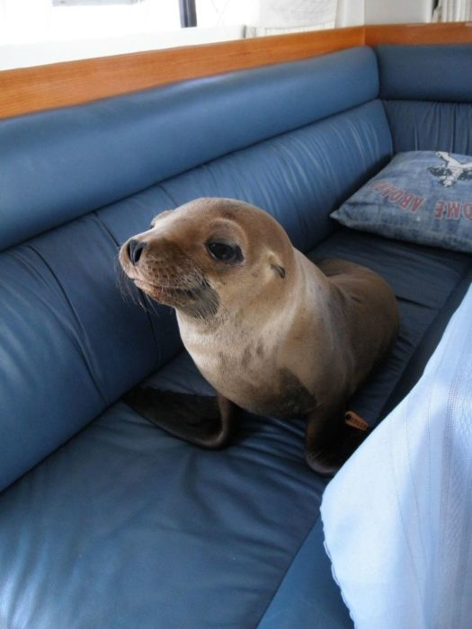 foca en velero