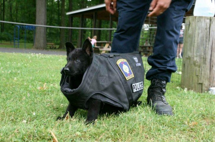 cachorro de servicio le queda muy grande su chaleco