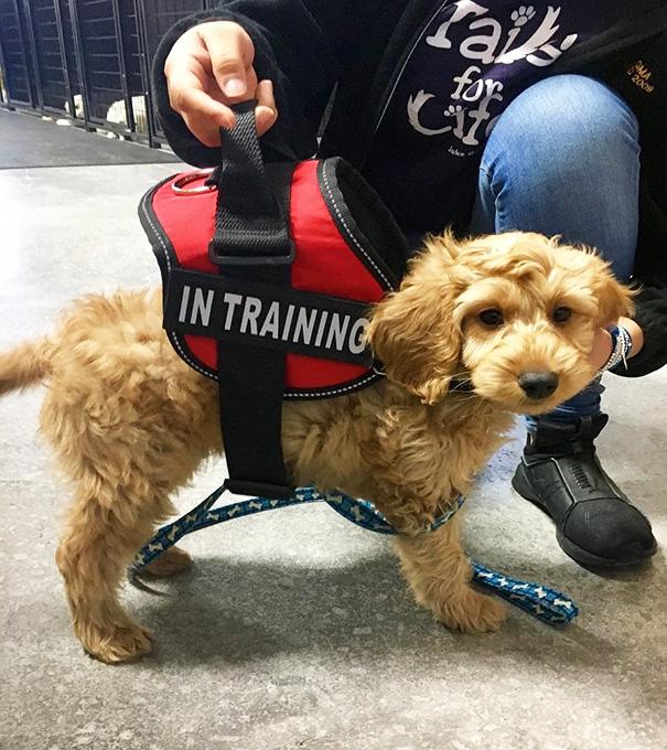 perrito de servicio en entrenamiento