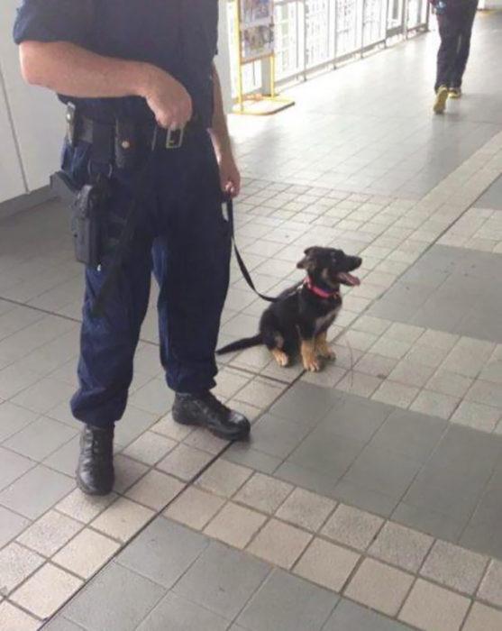 cachorro pastor alemán sentado junto a policía
