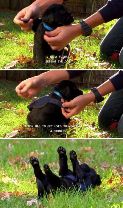 perro labrador de servicio usando su chaleco por primera vez