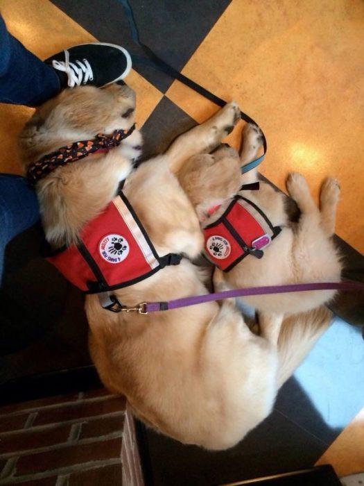 perros de servicio dormidos