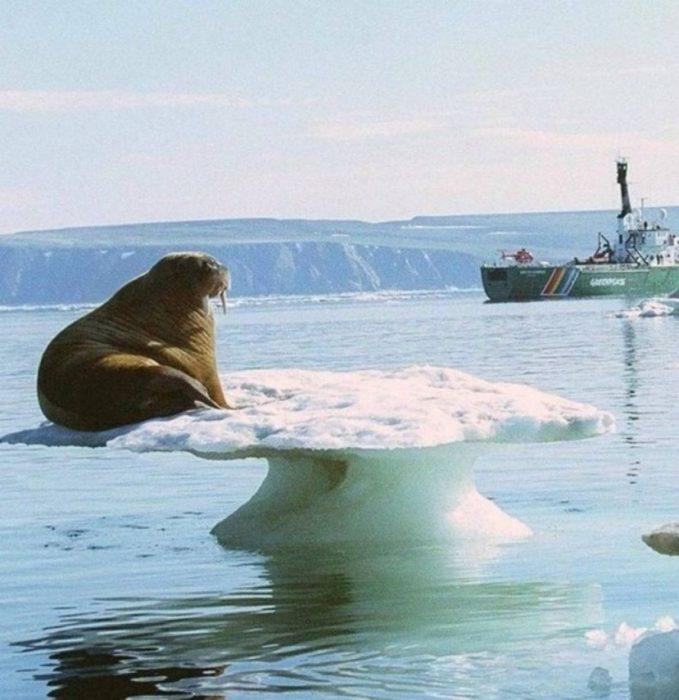 morsa en iceberg delgado