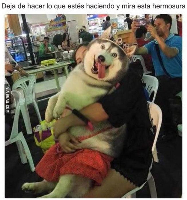 mira este husky gordo