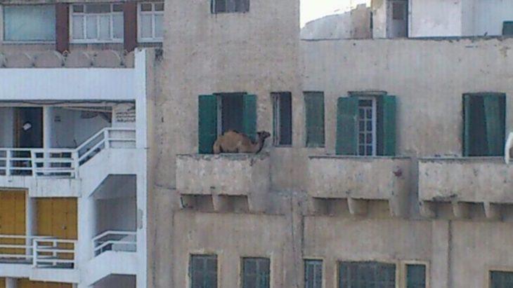 Imágenes inexplicables - camello en un balcón