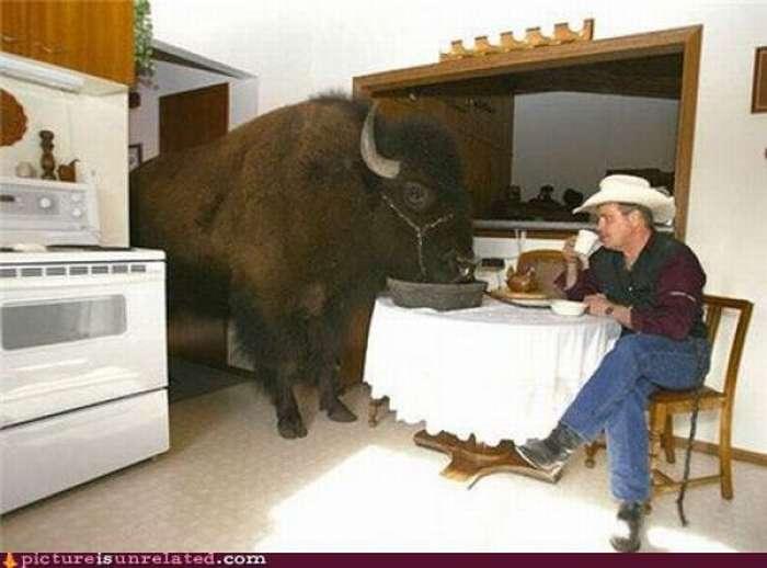 Imágenes inexplicables - búfalo comiendo en mesa