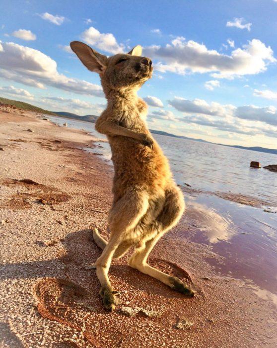 Canguro en la playa