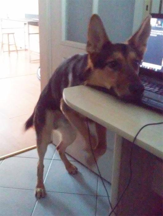 Perro con la cabeza apoyada en el mueble