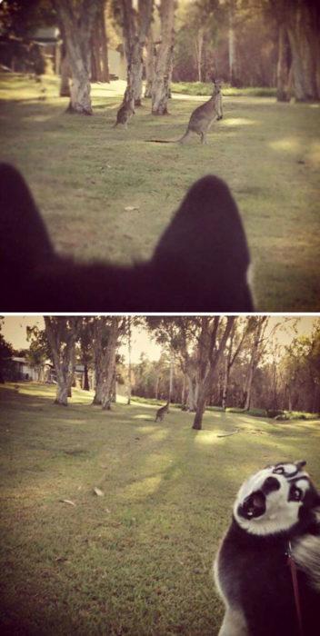 viendo un canguro