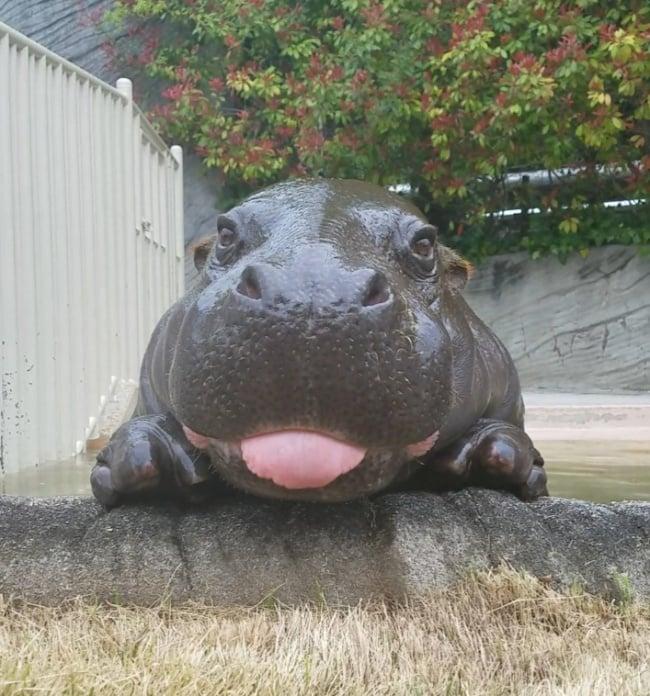 hola a todos, soy un tierno hipopótamo bebé