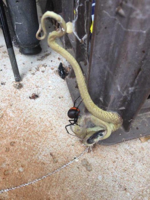 serpiente en telaraña
