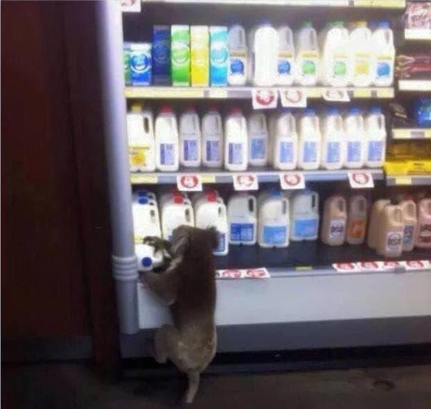 koala tomando leche