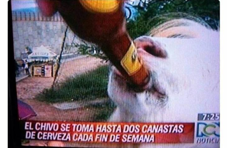 noticia sobre un chivo que toma cerveza