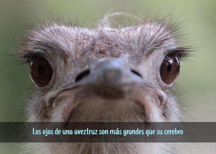 cerebro de avestruz