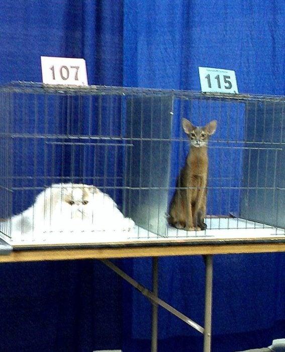 gatos en jaulas