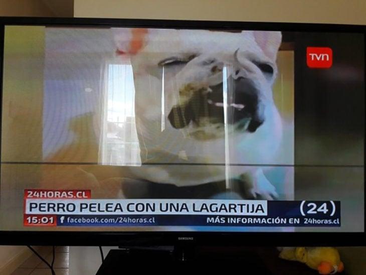 noticia sobre un perro que pelea con una lagartija
