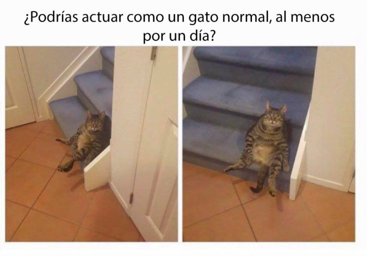 ¿por que no eres un gato normal?
