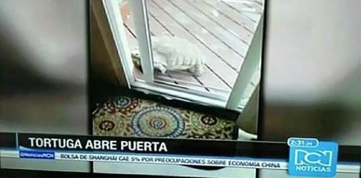 noticia sobre una tortuga que abre la puerta