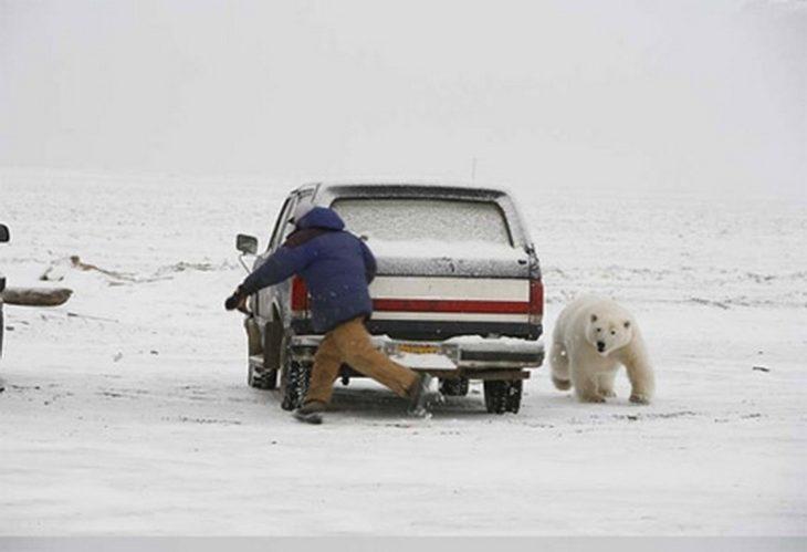 oso polar persiguiendo a hombre