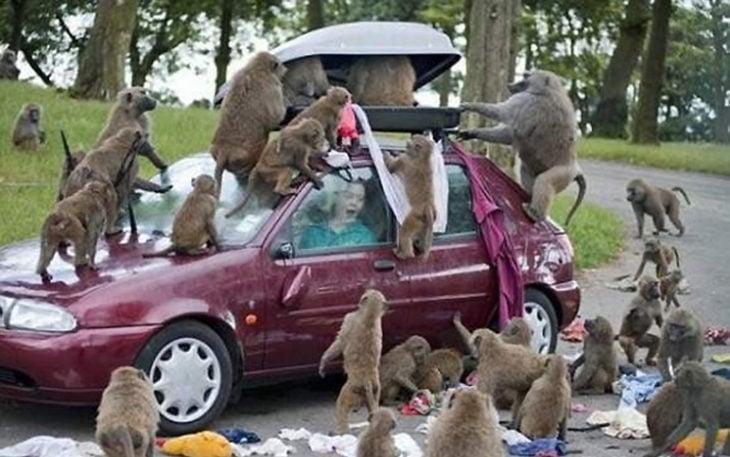 monos sacando toda la ropa del equipaje de una mujer