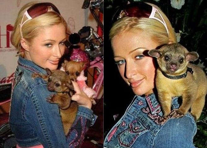 Paris Hilton con kinkajou