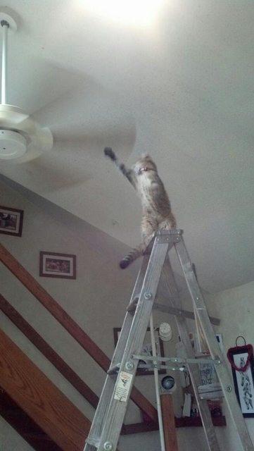 Gato a punto de tocar el ventilador del techo