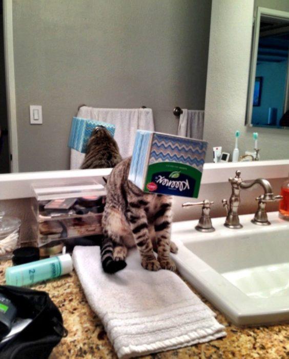 Gato con la cabeza atorada en caja de kleenex