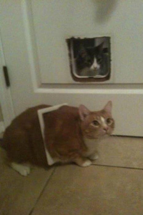 Gato gordo se atoró en la puerta de gatos