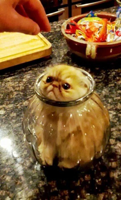 Gato atorado en un jarrón de vidrio