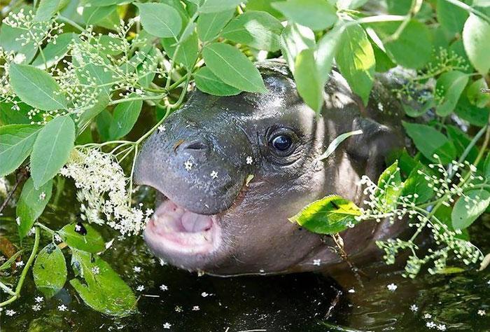 hipopótamo comiendo pasto