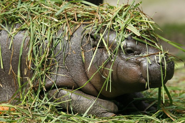 hipopótamo escondido pasto