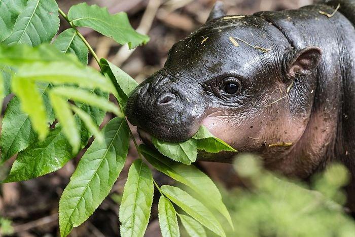 hipopótamo masticando hierba
