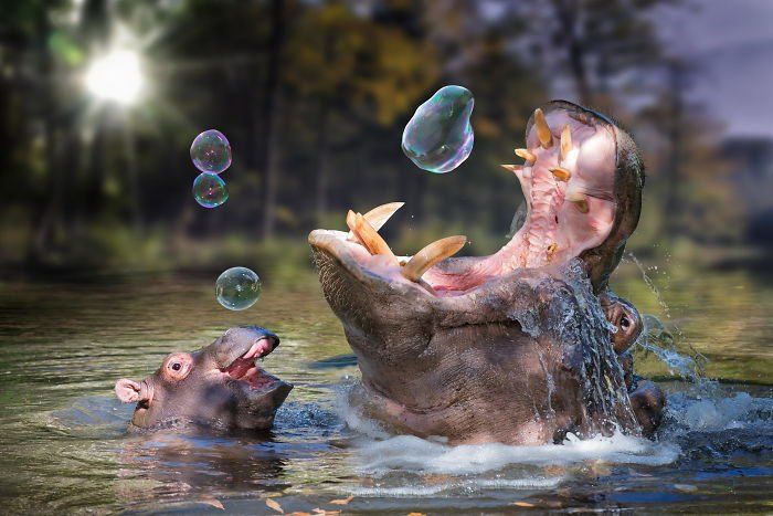 hipopótamo burbujas