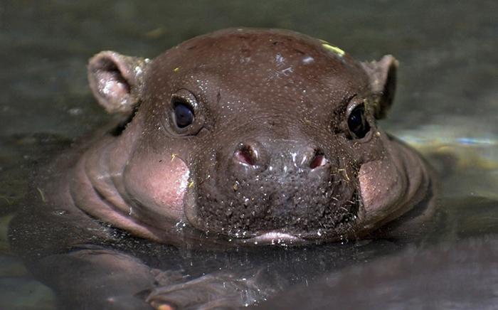 hipopótamo cachetón