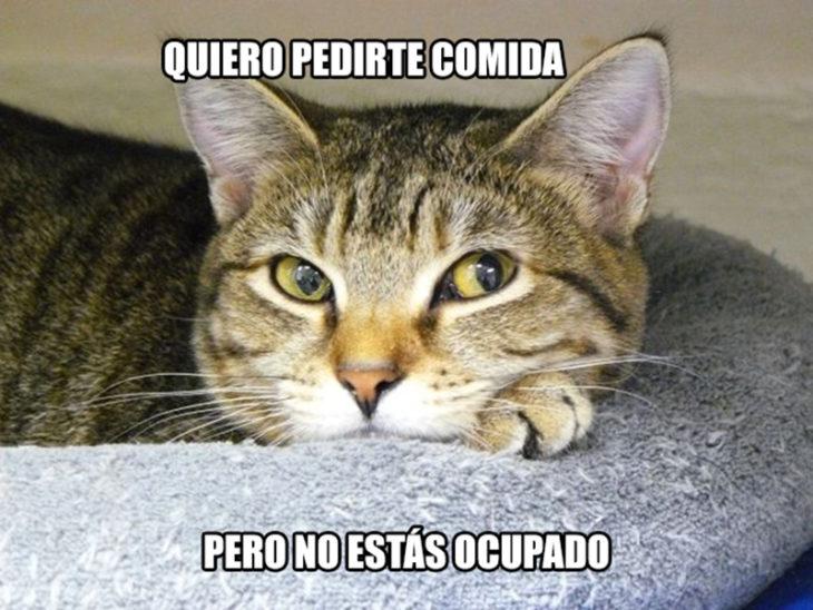 gato pedir comida