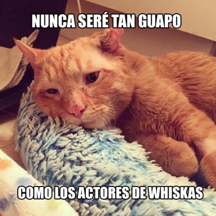 gato no guapo whiskas problemas