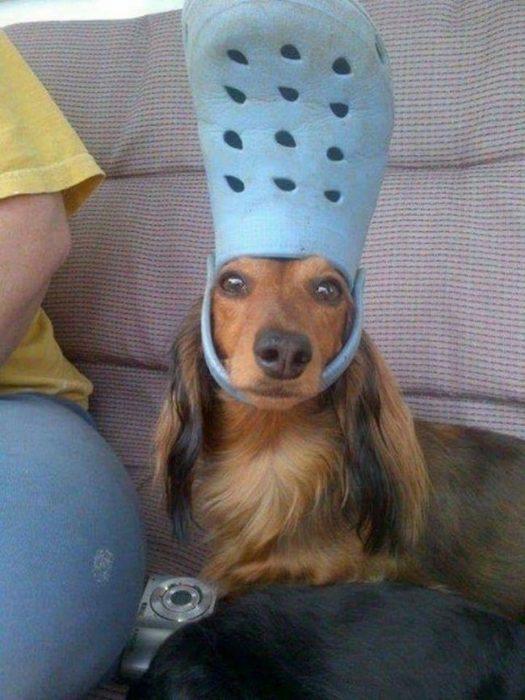 Perro usando chancleta como sombrero
