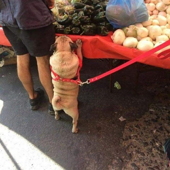 pequeño pug acompaña a dueña al mercado
