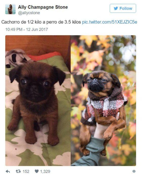 imágenes que muestran la transformación de cachorros
