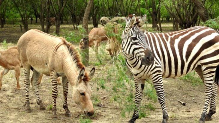 zebrasno híbrido entre cebra y asno