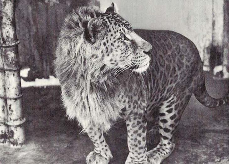 Leopón que es la cruza de un leopardo con una leona