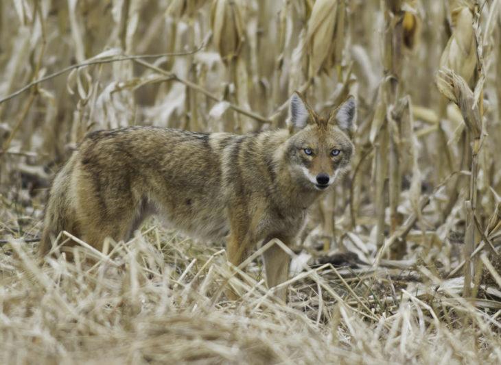 la cruza de un perro y un coyote nombrada coydog