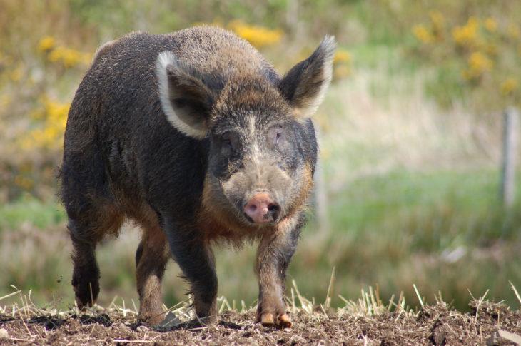 cerdo hierro que es la mezcla de jabalí y cerdo doméstico