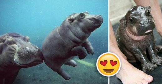 Cover Tiernas fotografías de hipopótamos bebé que harán tu día mejor