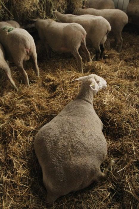 oveja preñada tirada sobre la pastura