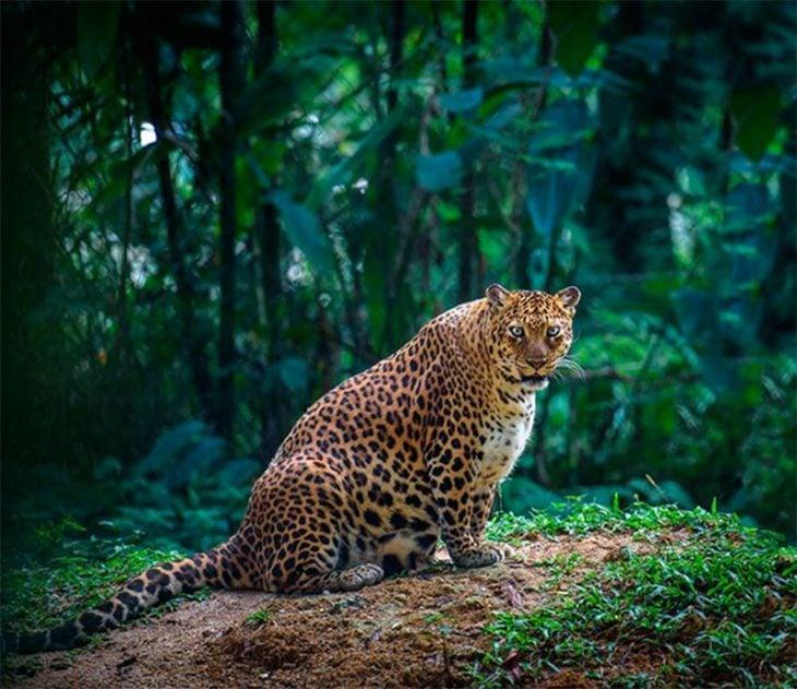 Leopardo hembra con gran vientre a punto de dar a luz