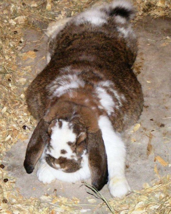 Conejo un animal prolifero embarazada